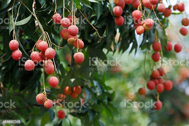 Lychee Tree Stock Photo - Download Image Now