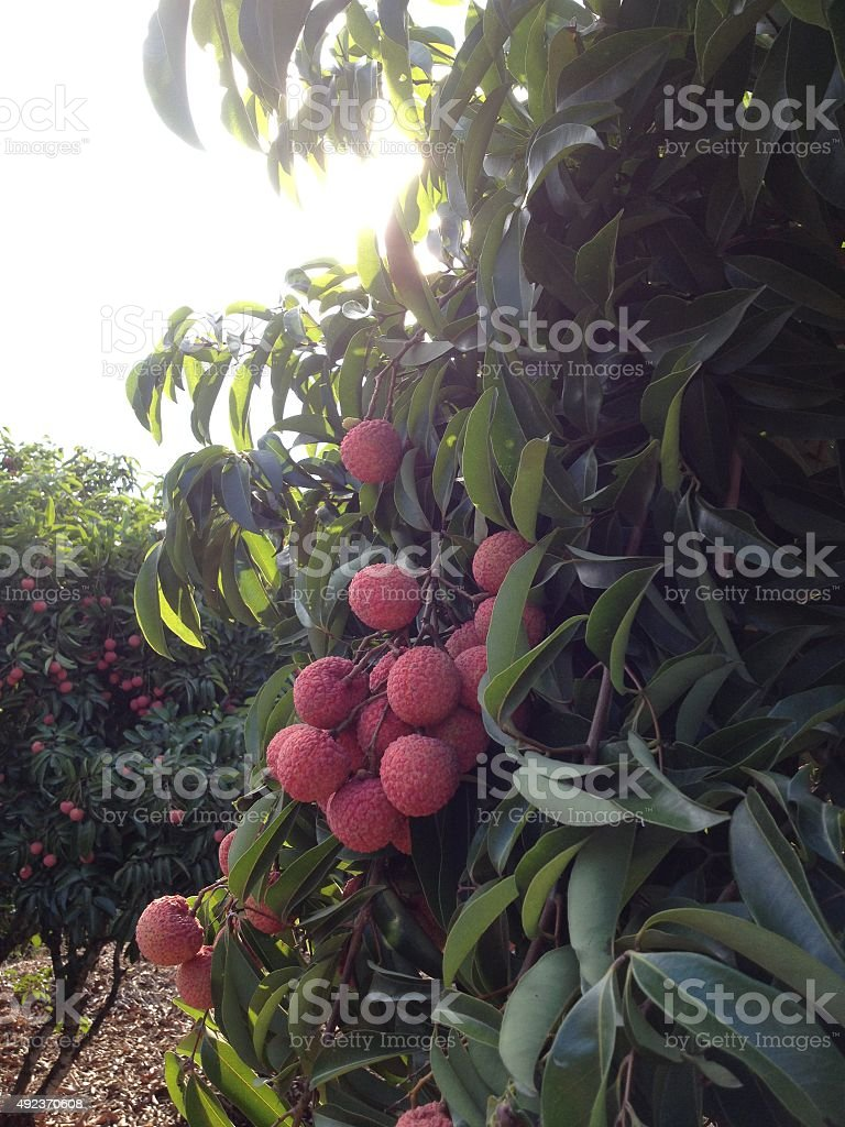 Lychees hanging with the sun behind stock photo