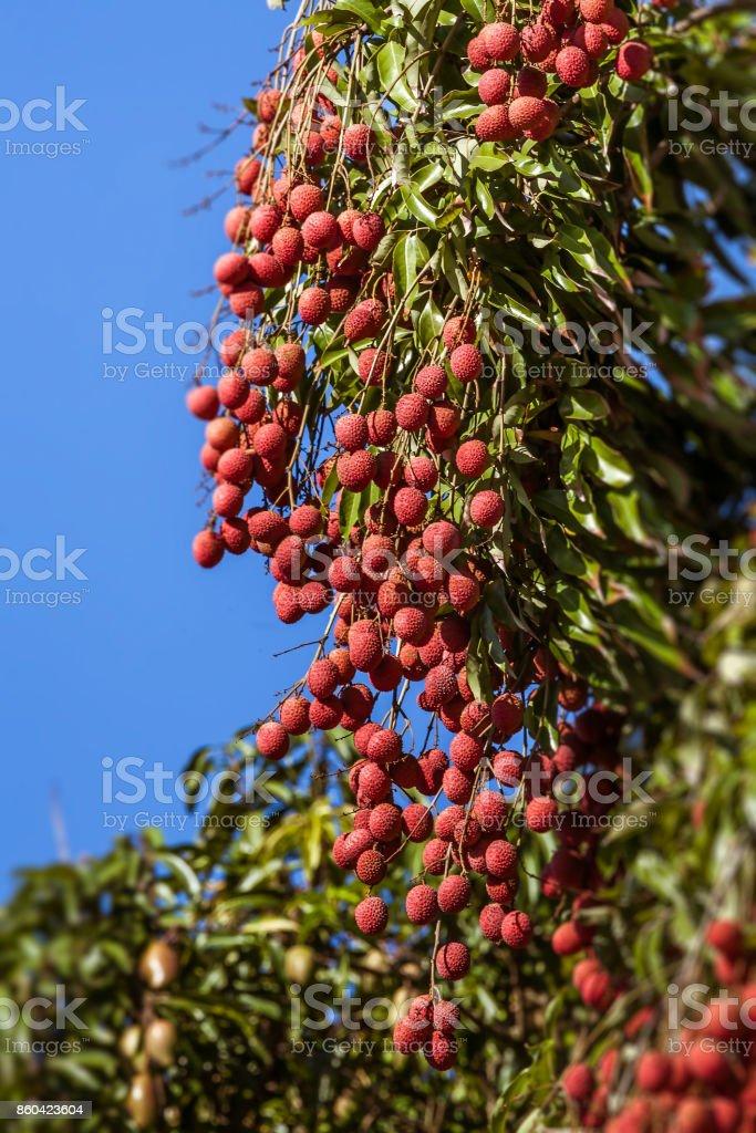 Lychees on tree stock photo