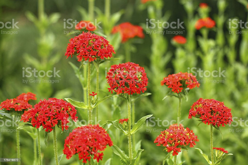 Lychnis chalcedonica - Brennende Liebe stock photo