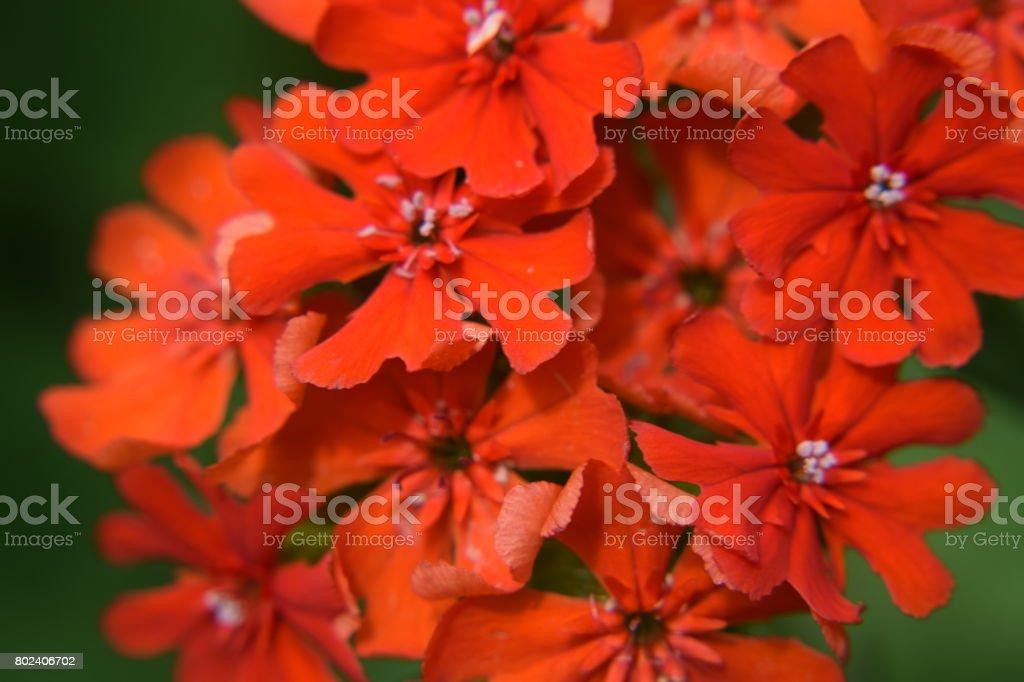 Lychnis chalcedonica or Maltese Cross flowers stock photo