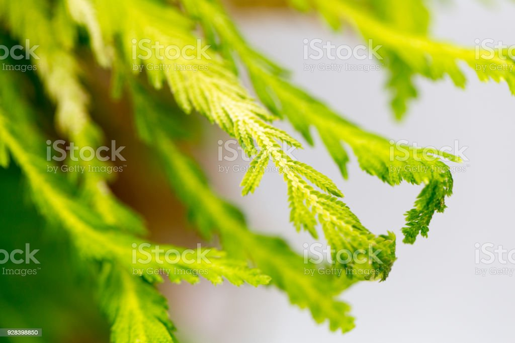 Lycopodium and Selaginella have vascular bundles for the transport of water, for education in Lab. stock photo
