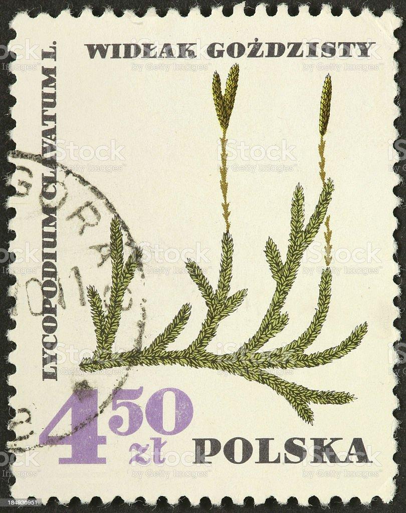 Lycopodium clavatum, clubmoss, medicinal herb stock photo