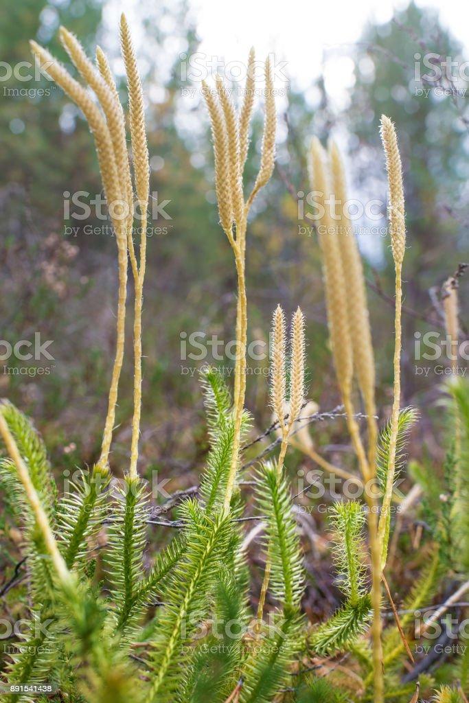 Lycopodium clavatum stock photo