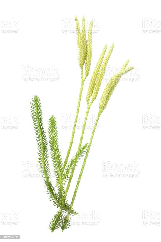 Lycopodium clavatum with sporophylls stock photo
