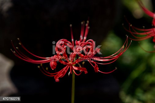 Lycoris radiata, alsocalled red spider lily. Originally from China, it was introduced into Japan and from there to the United States and elsewhere. It flowers in the late summer or autumn, often in response to heavy rainfall.