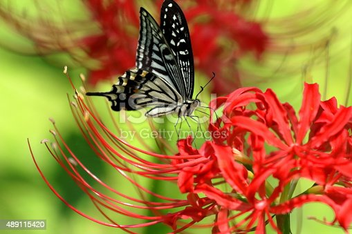 Lycoris radiata (red spider lily, red magic lily) is a plant in the amaryllis family, Amaryllidaceae, subfamily Amaryllidoideae. Originally from China, Korea and Nepal, it was introduced into Japan and from there to the United States and elsewhere.