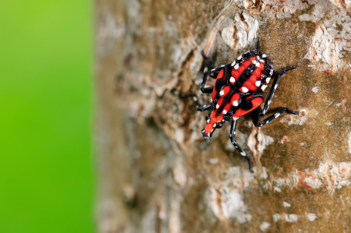 Lycorma delicatula, Vertical image of fourth-instar stage of spotted lanternfly, Lycorma delicatula is a planthopper and infesting