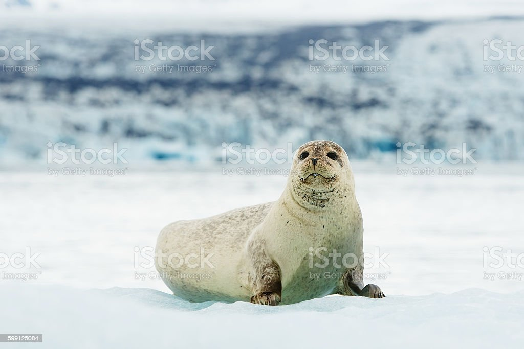 Lying Bearded seal on ice in arctic Svalbard stock photo