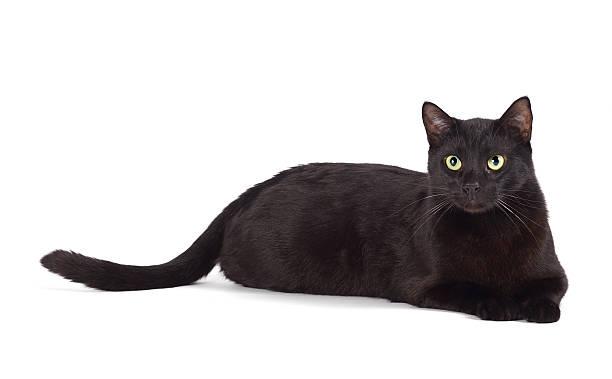 Lying black cat picture id513383636?b=1&k=6&m=513383636&s=612x612&w=0&h=eu0naqoaioiep6 b7fdpqlazuhm5yjngeln4tweuiz0=
