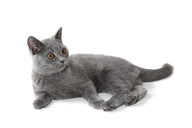 Lying british shorthair kitten 4 months old picture id154894701?b=1&k=6&m=154894701&s=612x612&w=0&h=o j6kefhhvuyhpvy qjlvc dhozvpucbyhmganju  e=