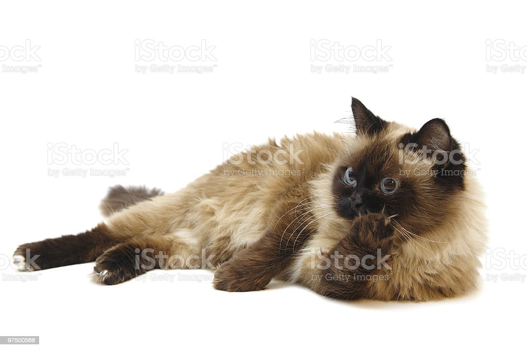 Lying Burman cat royalty-free stock photo