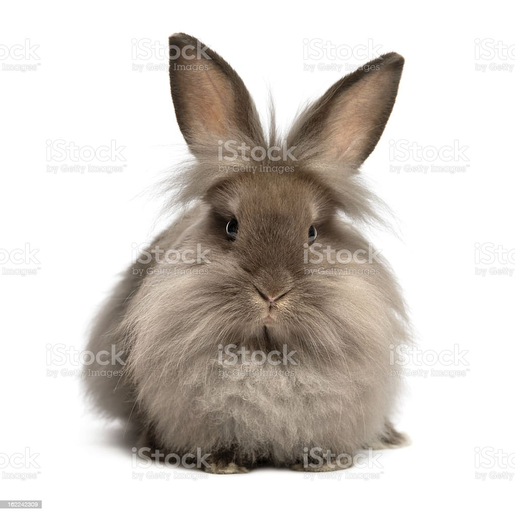 Lying chocolate colored lionhead bunny rabbit stock photo
