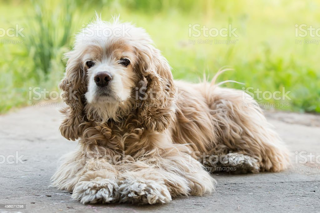 lying cocker spaniel stock photo