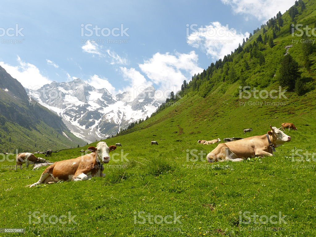 lying cows in a meadow stock photo