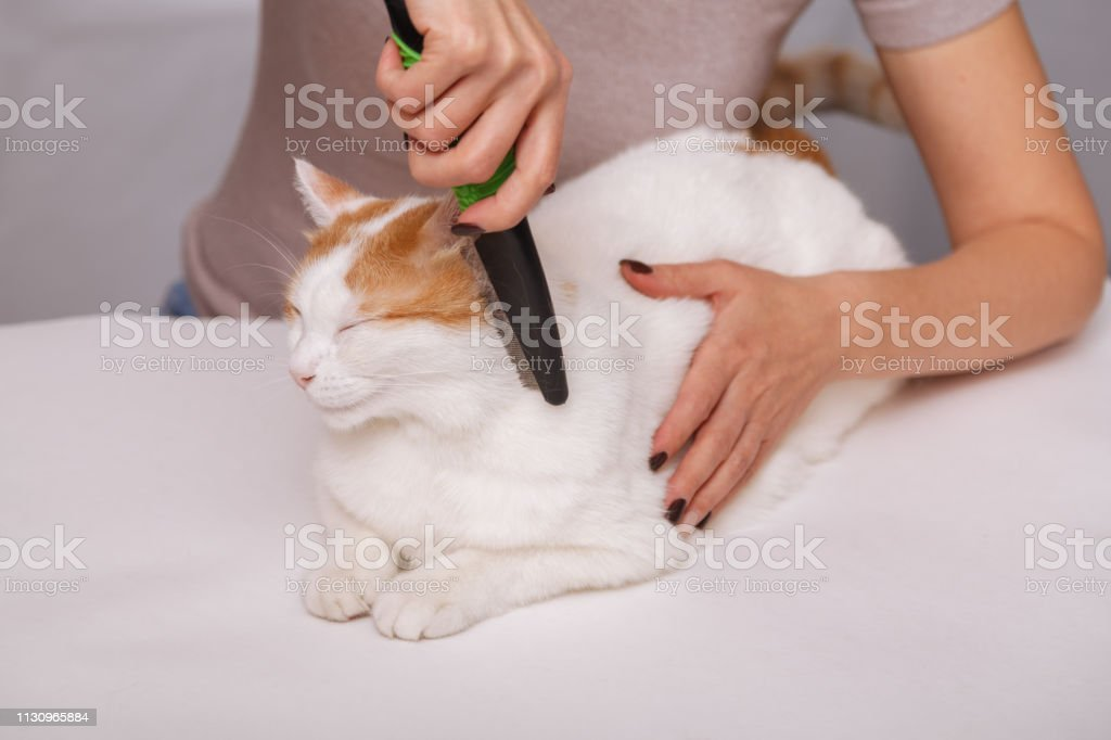 Lying cute white-red happy cat and a comb full of pet hair. Combing...