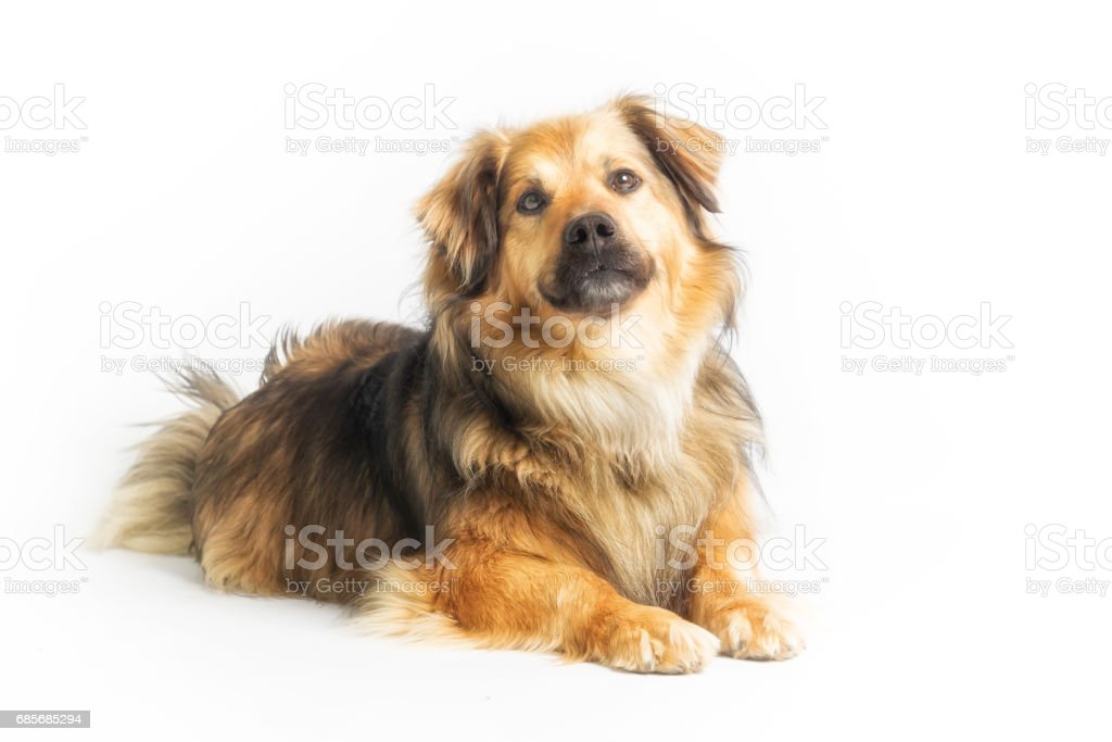 Lying dog in studio with white background royalty-free 스톡 사진