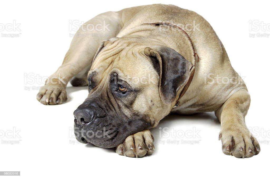 Lying dog of large breed royalty-free stock photo