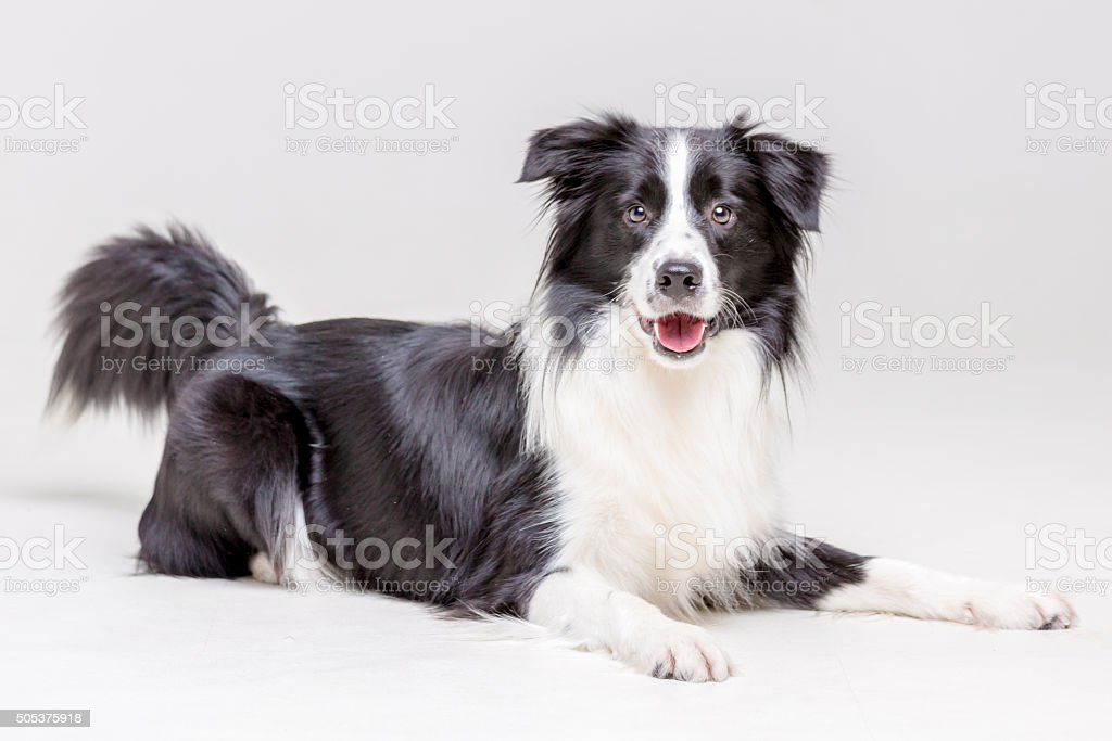 Lying Dog stock photo