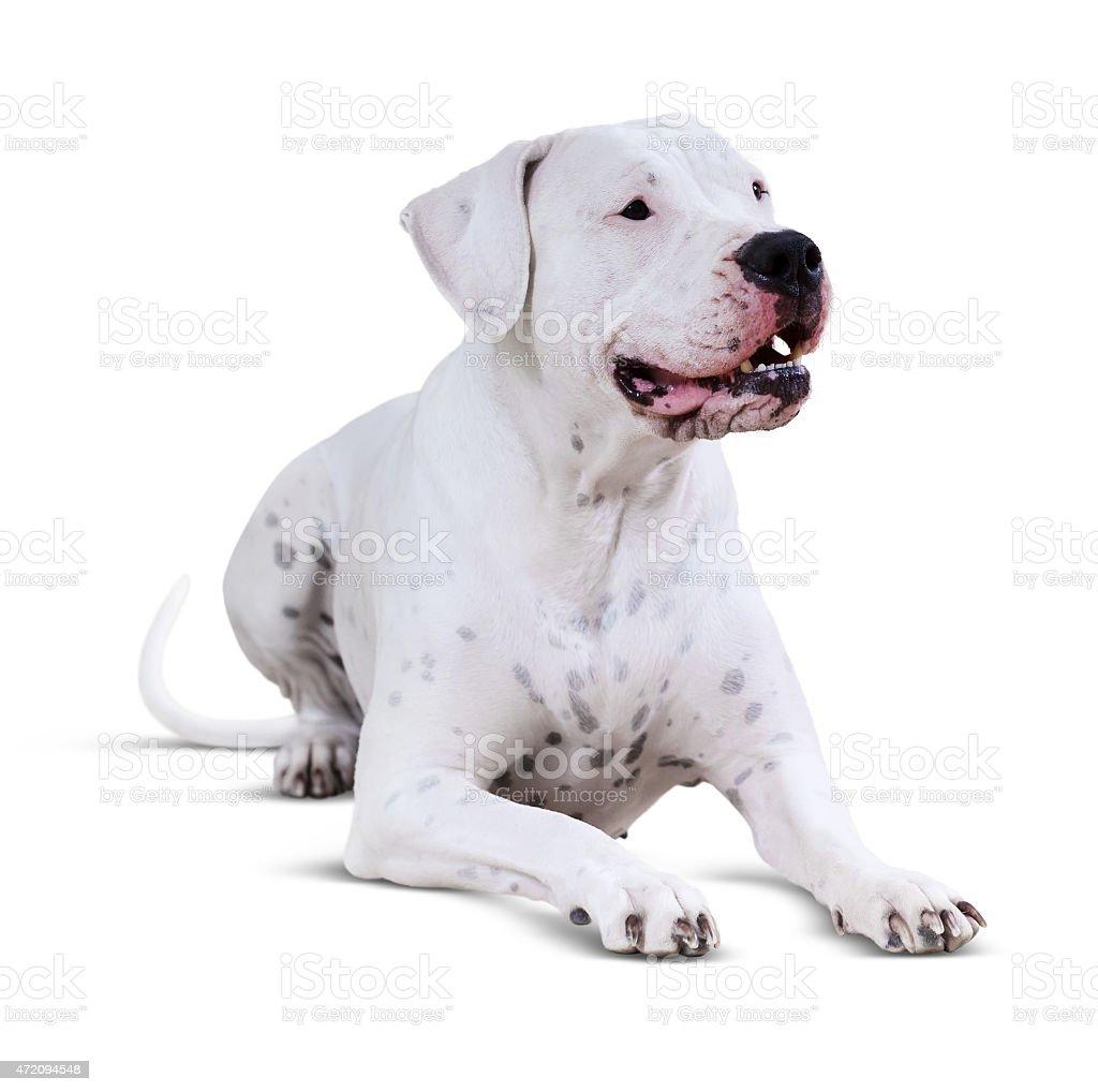 Lying  Dogo Argentino. Isolated over white stock photo