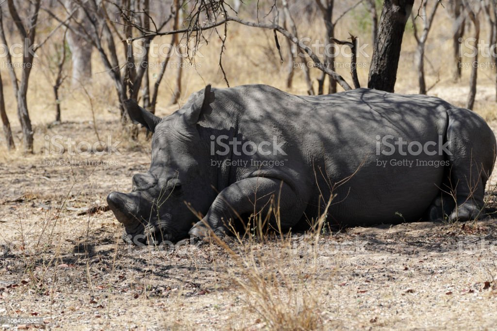 Lying down male white rhinoceros Ceratotherium simum Zimbabwe stock photo