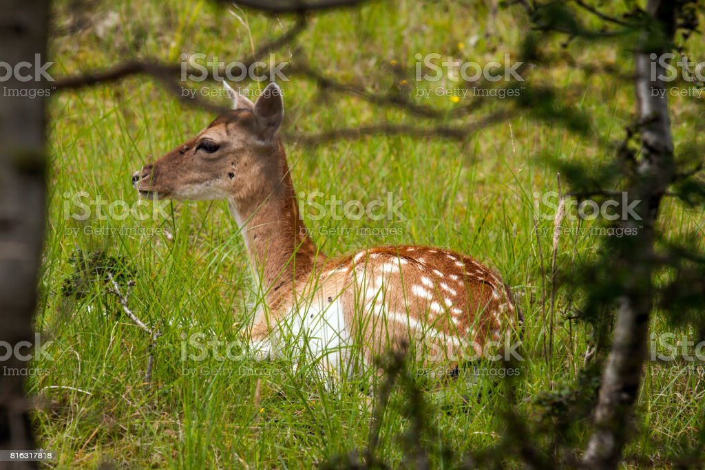 Lying female fallow deer stock photo