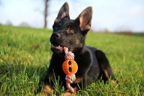 liegender Deutscher Schäferhund-Welpen mit einem Spielzeug – Foto