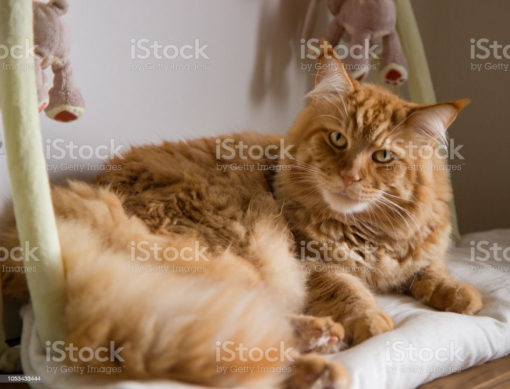 lying ginger maine coon cat stock photo