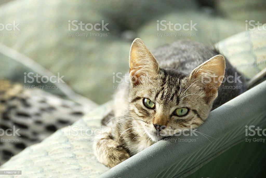 Lying gray cat stock photo