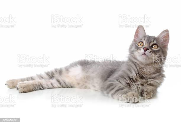 Lying gray cat picture id459454821?b=1&k=6&m=459454821&s=612x612&h=krbrt ozc09gcw8i3b6 7i3y1cd1dfyhumwvjntdiew=
