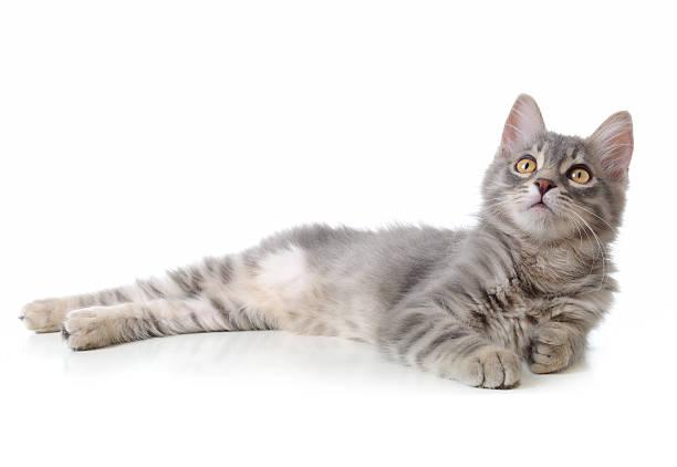 lying gray cat - yatmak stok fotoğraflar ve resimler