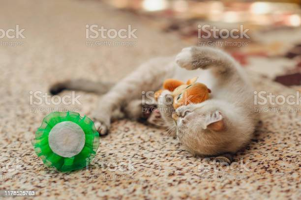 Lying kitten caught a toy prey and play with it picture id1178525763?b=1&k=6&m=1178525763&s=612x612&h=b6sgl8brrl0xmwth9thukp5dmrebe5j2 xvzh2tfiha=