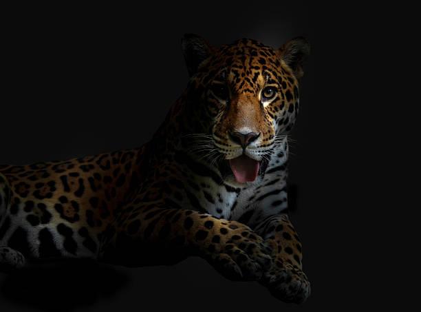 Lying leopard picture id515222017?b=1&k=6&m=515222017&s=612x612&w=0&h=uxihsesebysuxmptf8pe 9dpzqqaptqppwsj5hu9hkk=