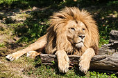 A picture of a lying lion.
