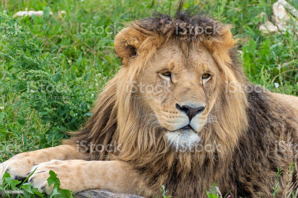 Männlicher Löwe liegend. – Foto