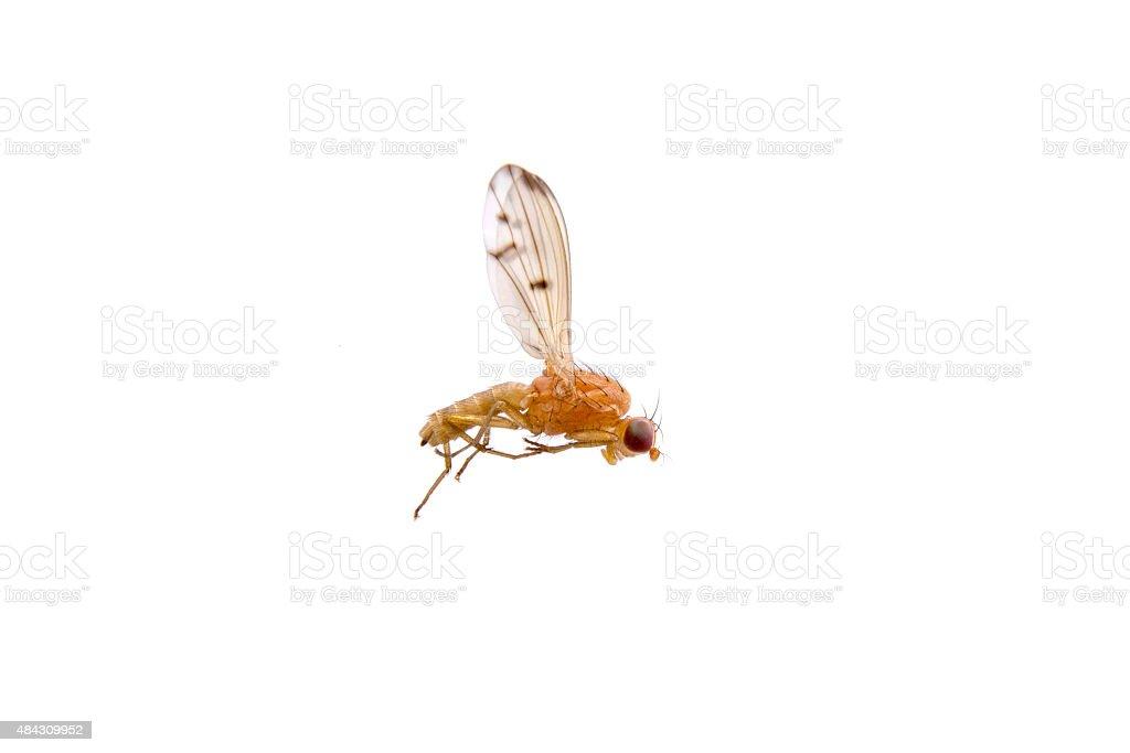 Lying orange fly on a white background stock photo