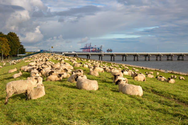 Liege Schafe auf dem Deich – Foto