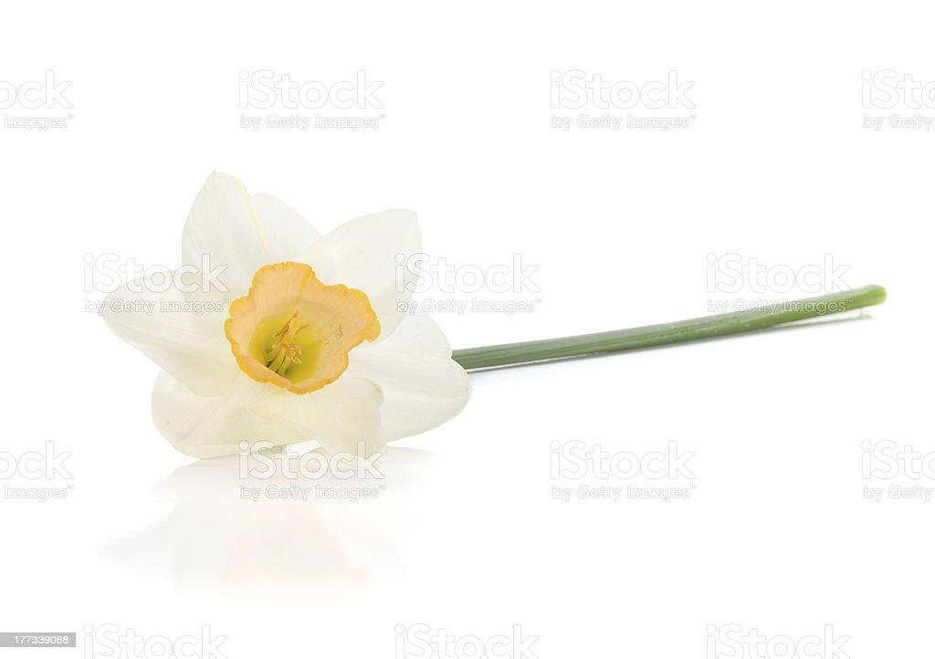 Lying white daffodil royalty-free stock photo