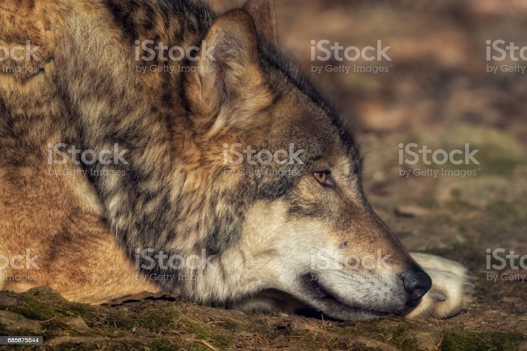 A lying wolf on the ground relaxing 免版稅 stock photo