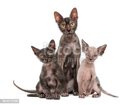 istock Lykoi cat, 7 months old, also called the Werewolf cat against white background 944073290