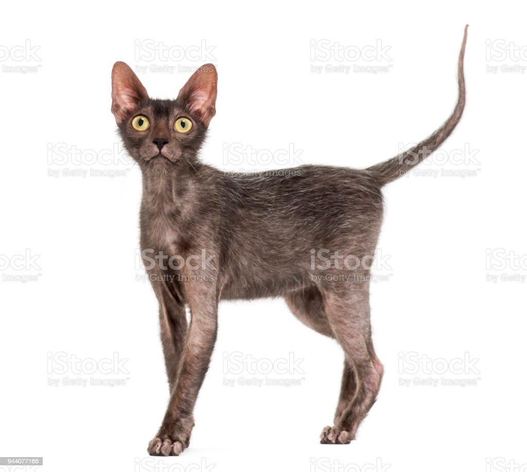 Lykoi Katze 7 Monate Alt Auch Genannt Die Werwolfkatze Vor Weißem ...