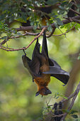 istock Lyle's Flying Fox hanging on the tree in the park 1184293311