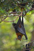 istock Lyle's Flying Fox hanging on the tree in the park 1184293312
