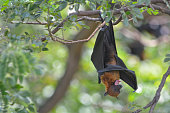 istock Lyle's Flying Fox hanging on the tree in the park 1184293336