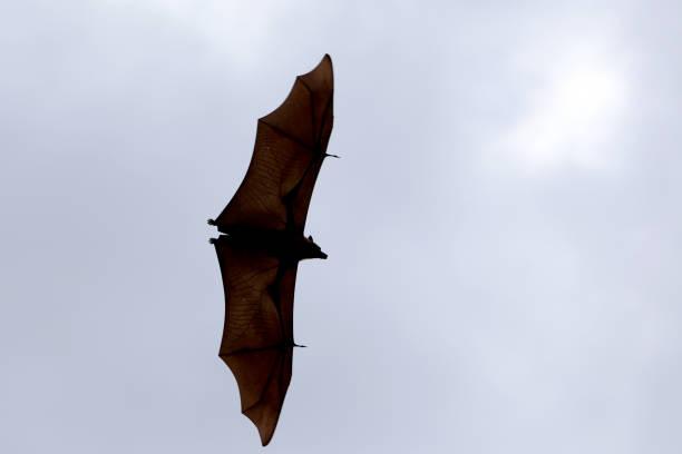 lyles bat obst oder flying-fox - wasserfledermaus stock-fotos und bilder