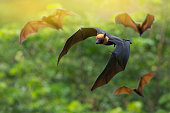 istock Lyle's flying fox 925574794