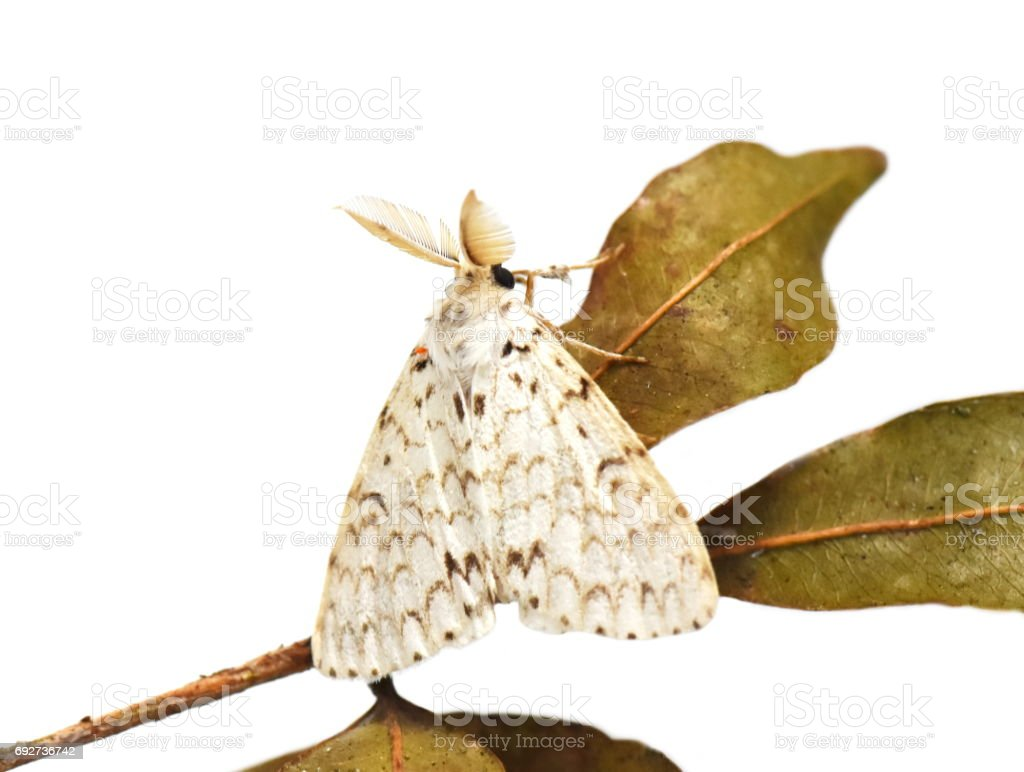 Lymantria male moth stock photo