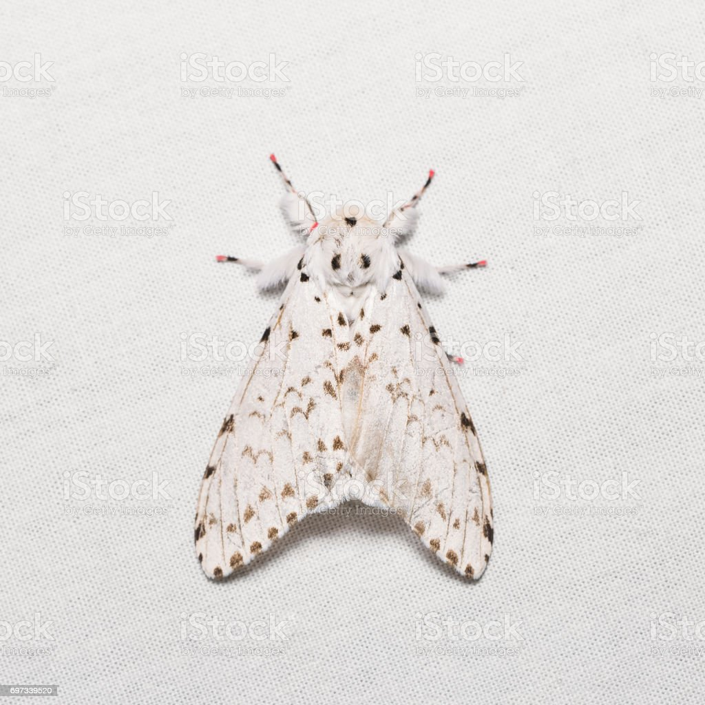Lymantria marginalis moth stock photo