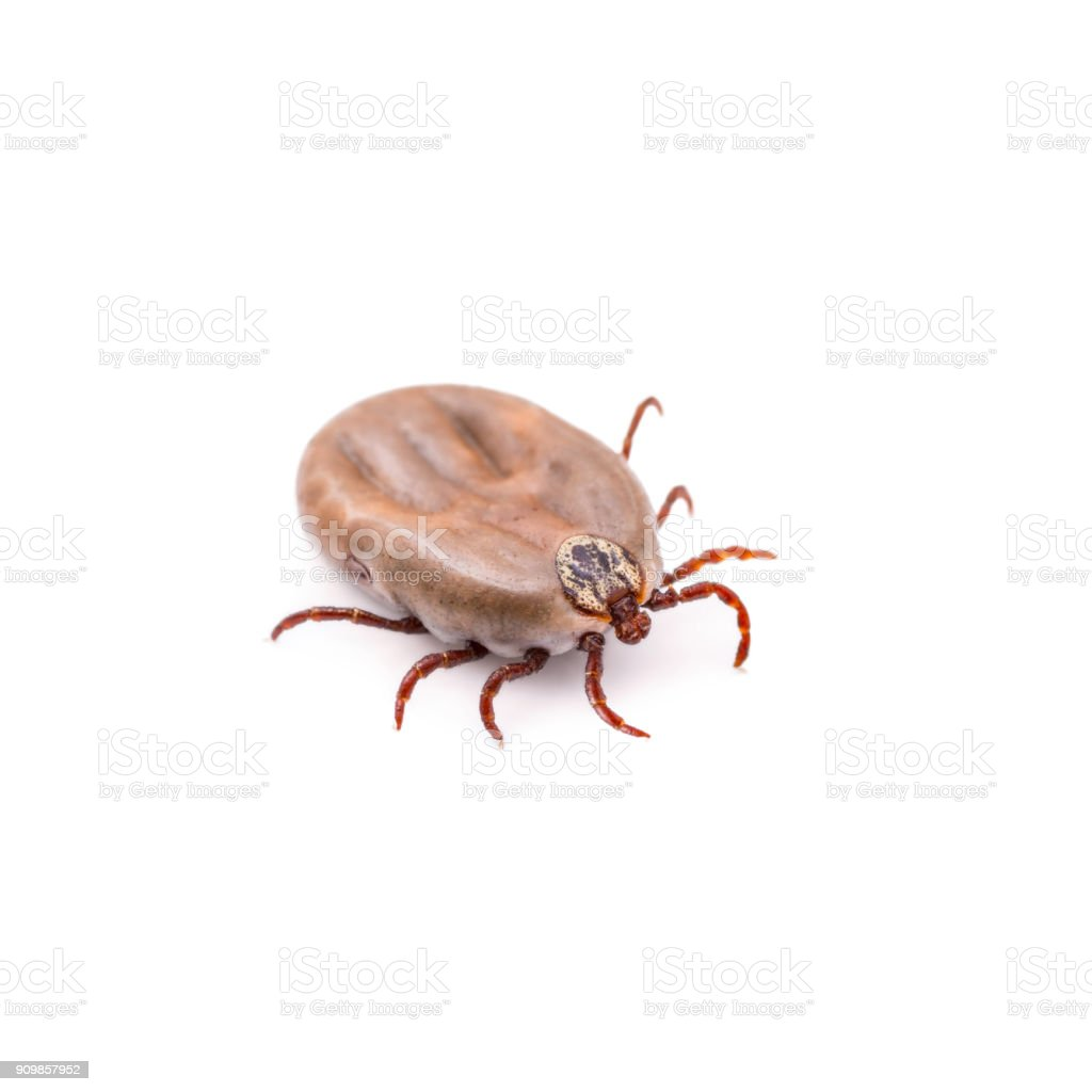 Lyme Disease or Encephalitis Virus Infected Tick Isolated on White stock photo