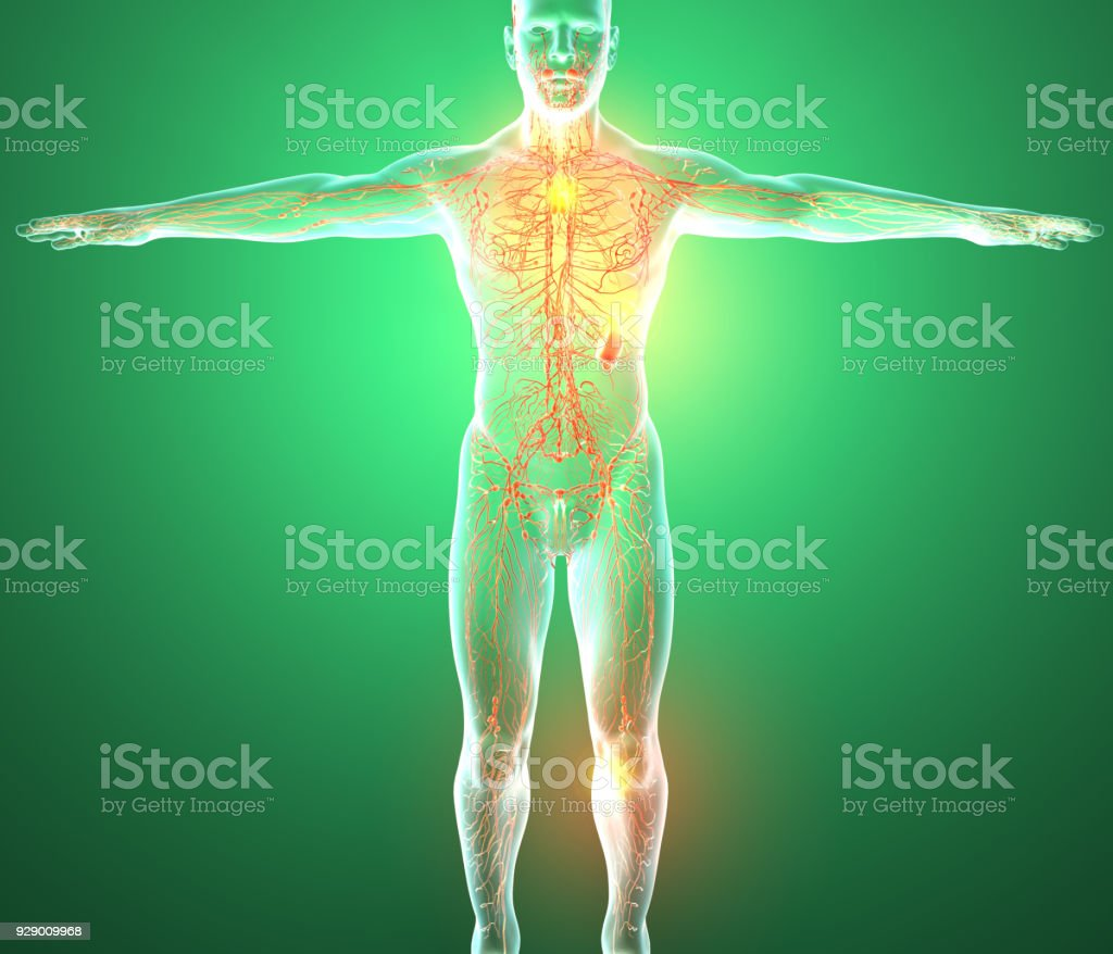 Lymphatic system, human body, man stock photo